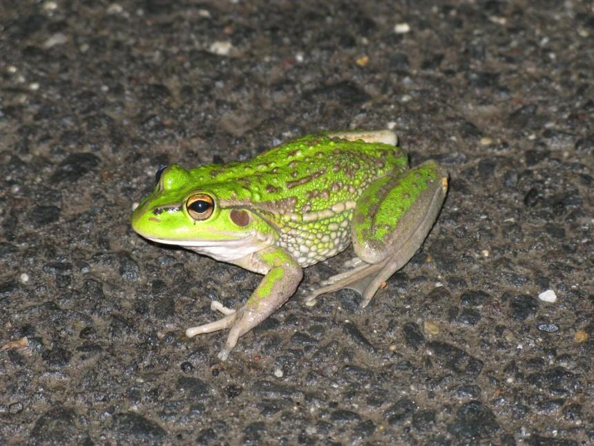 L_rani_frog_hunt3