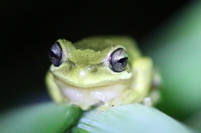 Litoria_ewingii_Burnley_cropped